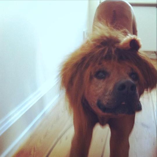 Balu als Löwenhund